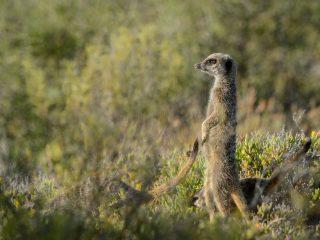 Surricate, Oudtshoorn, SA
