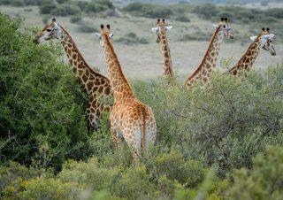 Giraffe, Amakhala, SA