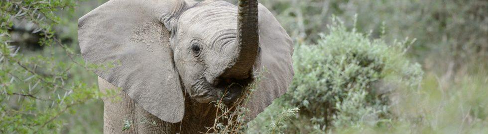 Elephant calf, Amakhala, SA