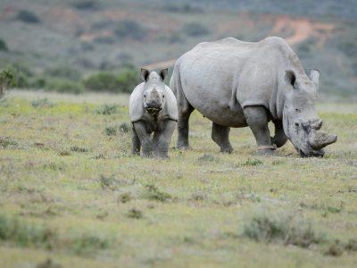Rhino, SA