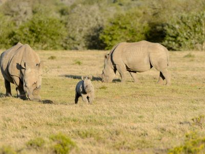Rhino calf, SA