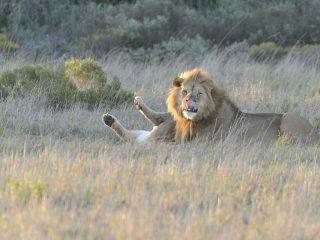 Lions, Amakhala, SA
