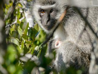 Vervet Monkey, Amakhala, SA
