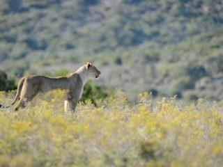 Lion, Amakhala, SA