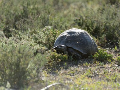 Leopard tortoise, Addo Elephant Park, SA