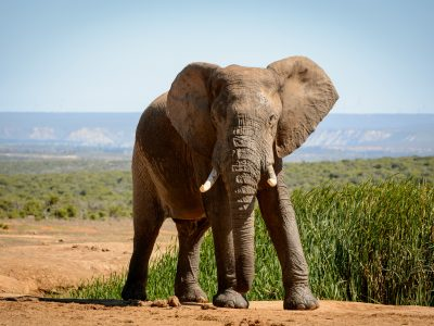 Elephant – strike a pose, Addo Elephant Park, SA