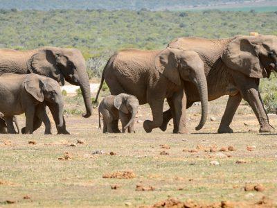 Elephant herd, Addo Elephant Park, SA