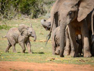 Elephant calf, Addo Elephant Park, SA