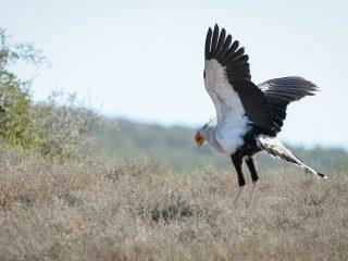 Secretary Bird, Addo Elephant Park, SA