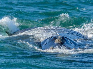 Humpback whale, De Kelders, SA