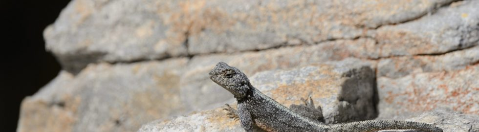 Lizzard, Hermanus, SA
