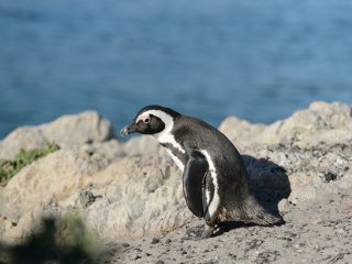 African penguin, Betty's bay, SA